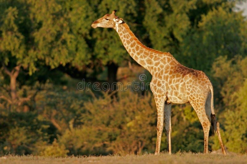 Giraffe, Etosha N/P, Namibia royalty free stock photo