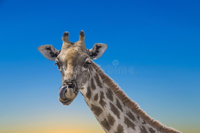 Giraffe in the etosha national park. Under blue sky stock images