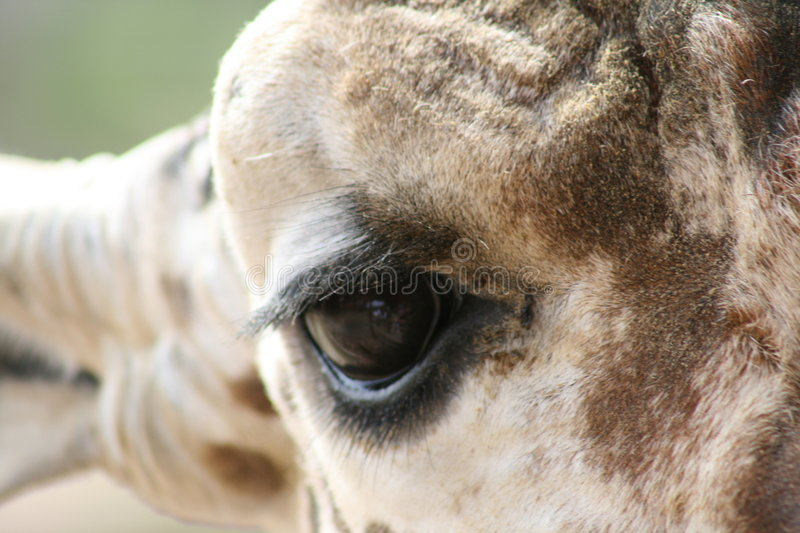 Giraffe eye royalty free stock photos