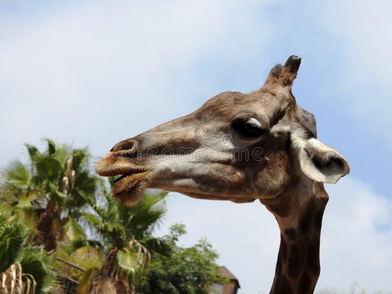 Giraffe Face. Kalahari Desert, South Africa royalty free stock images
