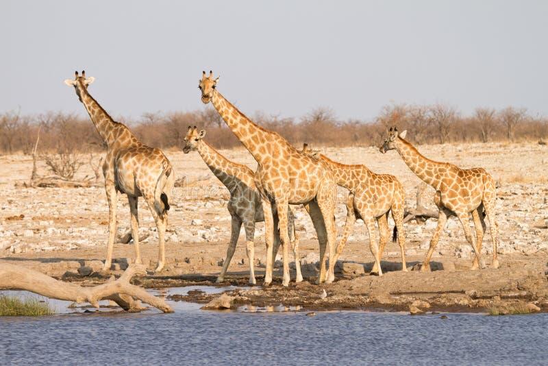 Giraffe family. Wild giraffe family, Etosha, Namibia stock images