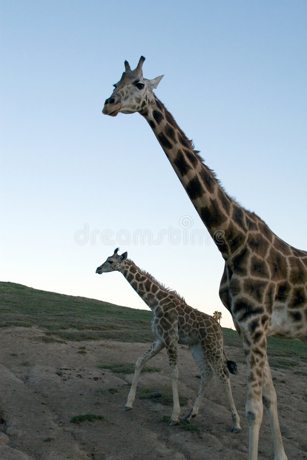 Download Giraffe family stock photo. Image of herbivore, animal - 2092954