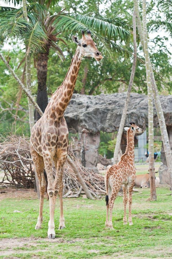 Download Giraffe family stock photo. Image of pattern, nature - 24900808