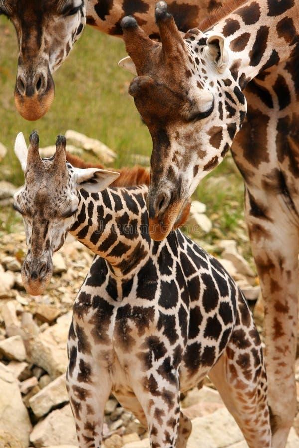 Giraffe Family Royalty Free Stock Photos