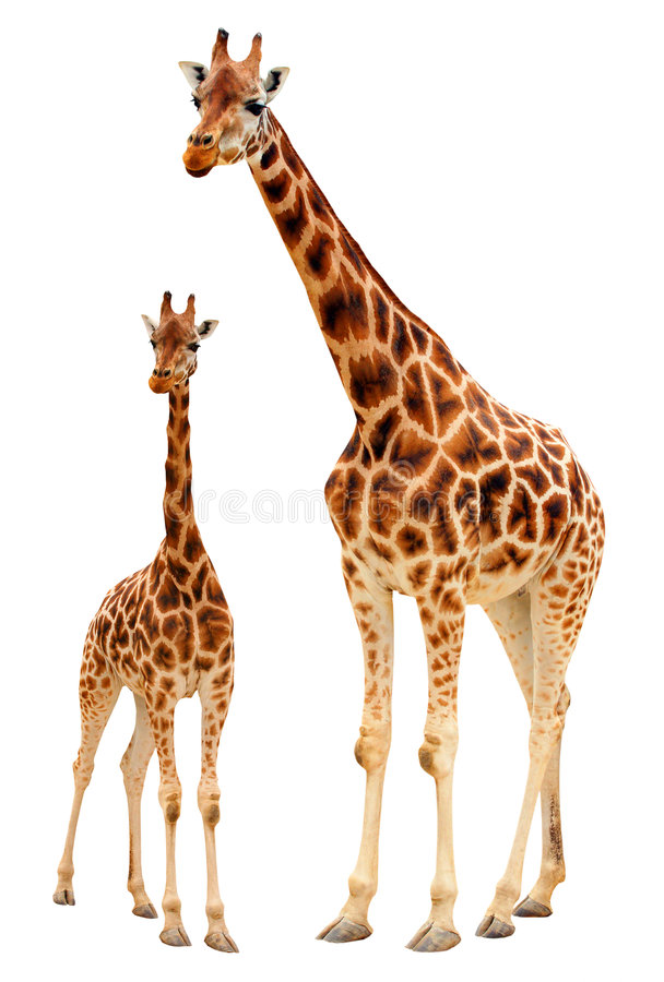 Download Giraffe family stock image. Image of daughter, profile - 7897653