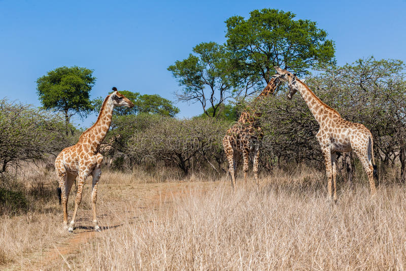Download Giraffe Family Calf's Wildlife Stock Image - Image: 34304893
