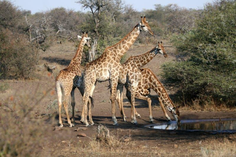 Giraffe Family Drinking Stock Images