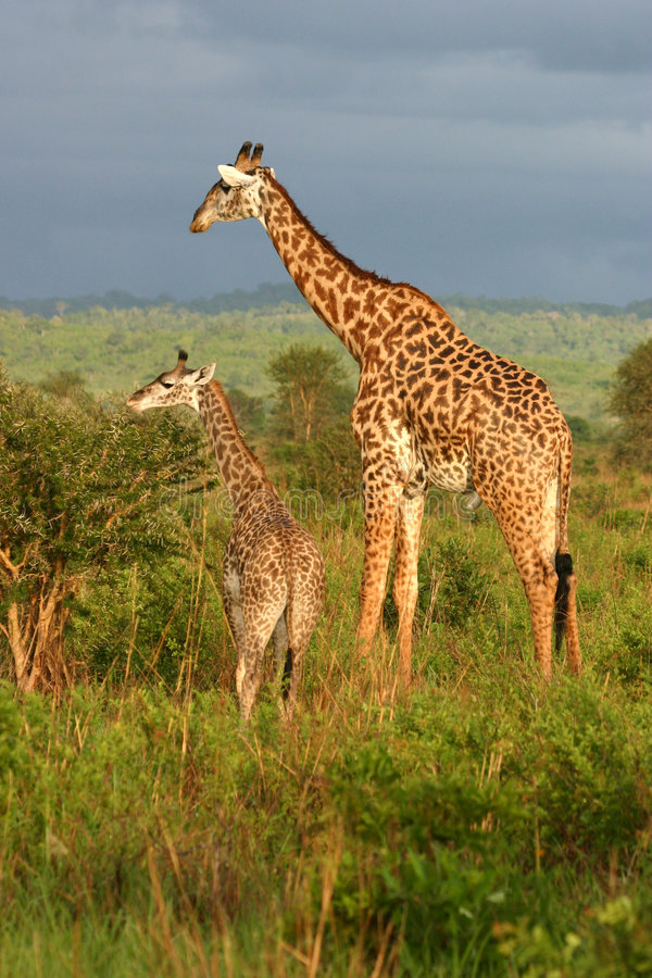 Download Giraffe Family Feeding Time Stock Photo - Image: 4008
