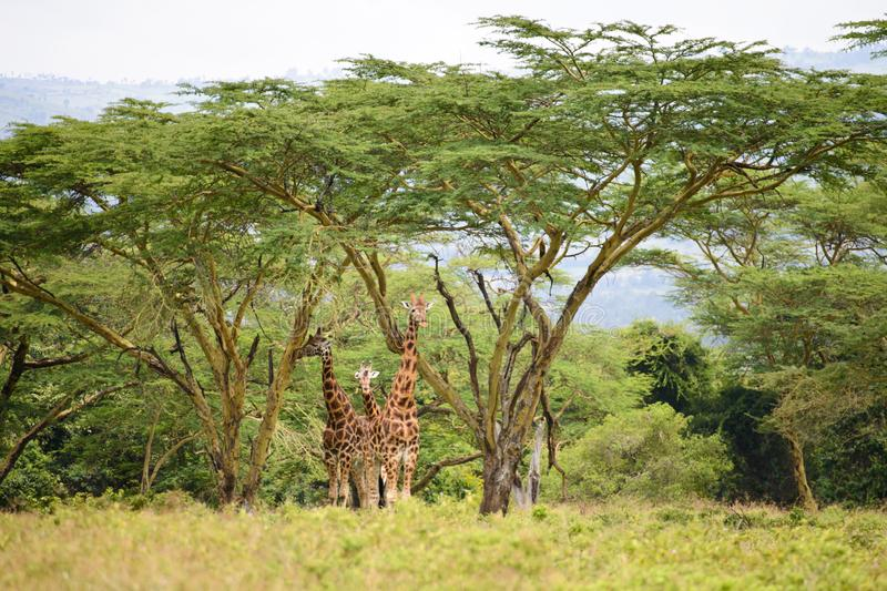 A giraffe family. Stands still under the tall acacia trees still. The contrast between its color and the green background is very damastic stock photos