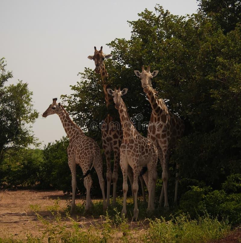 Giraffe family in Koure Giraffe Reserve, Niger. Giraffe family in Koure Giraffe Reserve in Niger royalty free stock photography