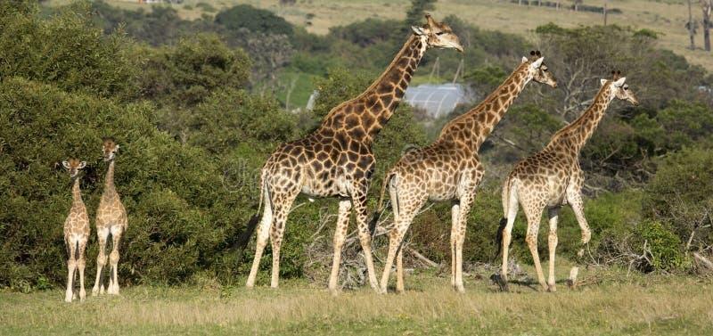 Giraffe family with two tiny babies stock photo