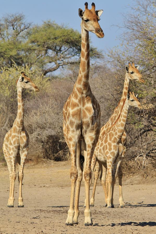 Download Giraffe Family - Wildlife Background Of Watchers In Africa Stock Image - Image: 33372541