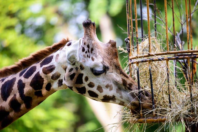 Giraffe feeding stock photo