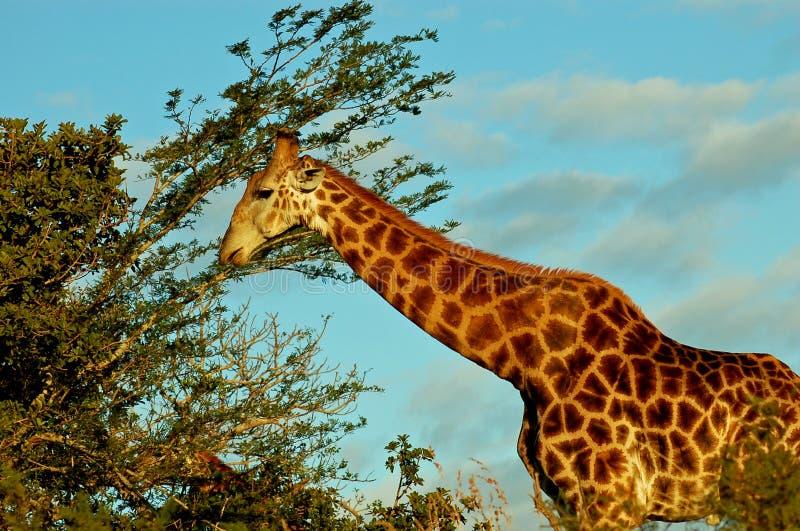 Giraffe feeding off leaves royalty free stock image