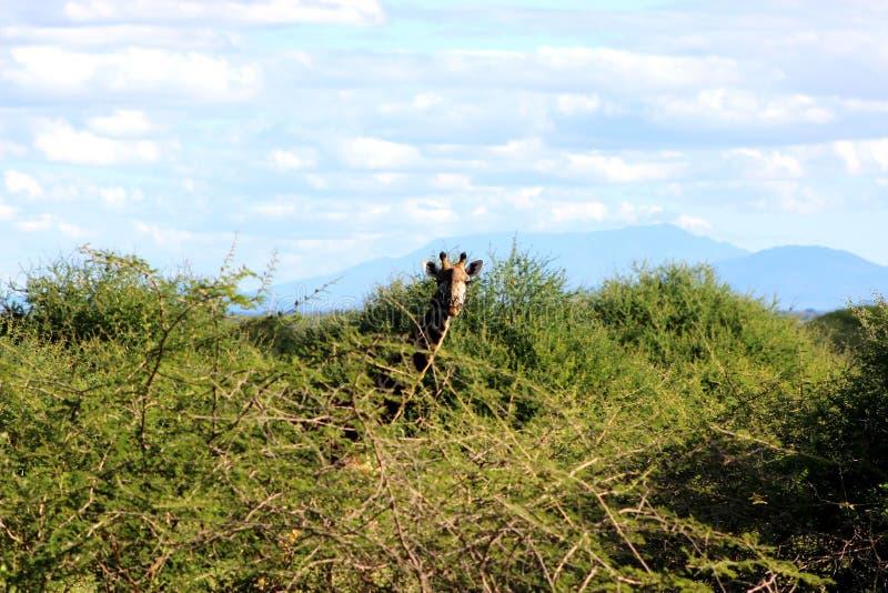 Giraffe feeding , Tanzania. A wild giraffe grazing Arusha region, Tanzania royalty free stock images