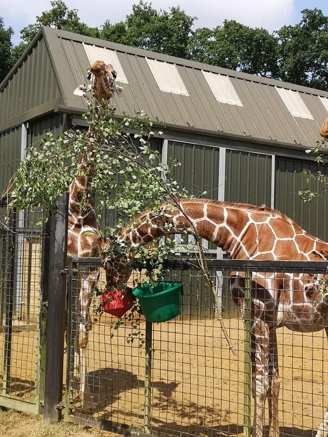 Giraffe feeding time royalty free stock photo