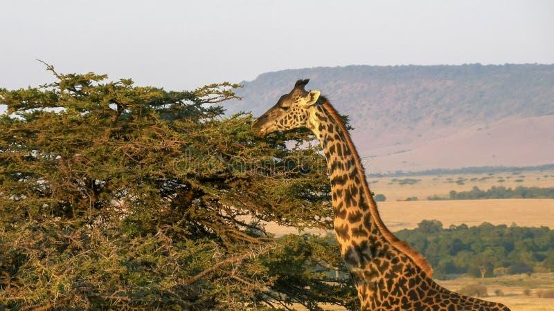 Giraffe feeding with oloololo escarpment masai mara in the distance stock images