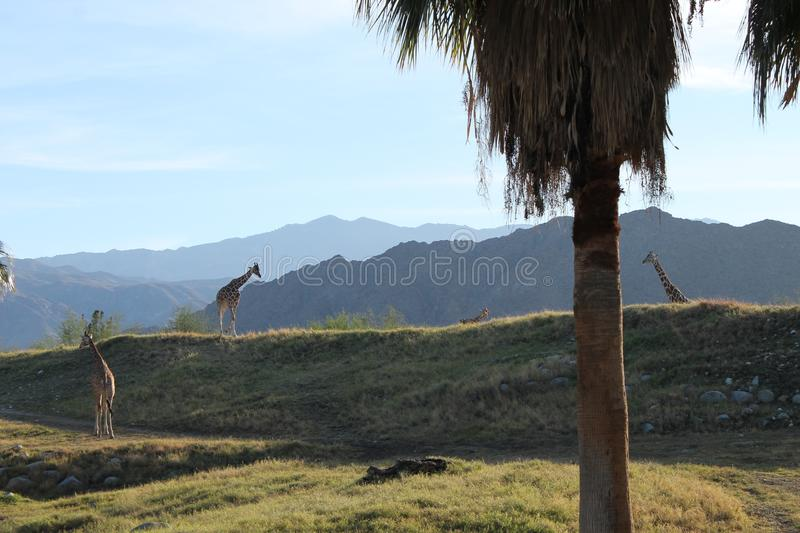 Giraffe in Forest Mountain Background stockfotografie