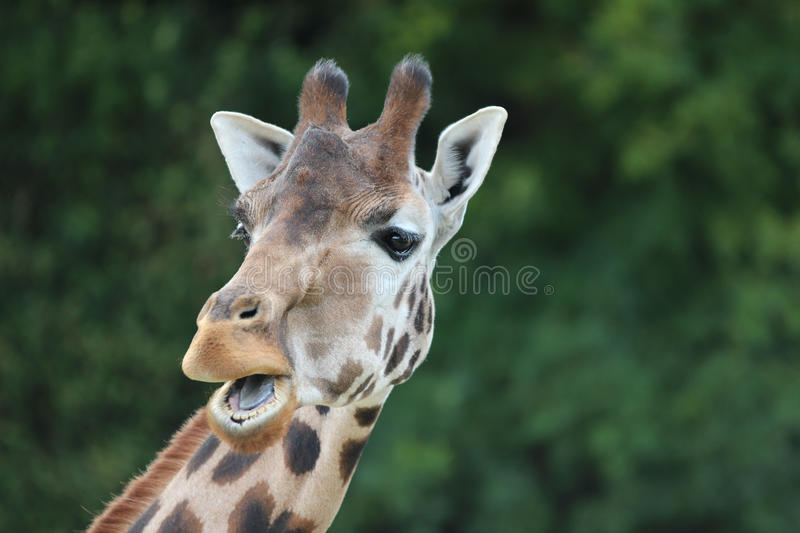 Giraffe with funny expression stock image