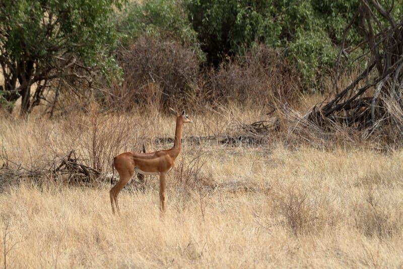 Giraffe gazelles in the savannah of Kenya royalty free stock photography