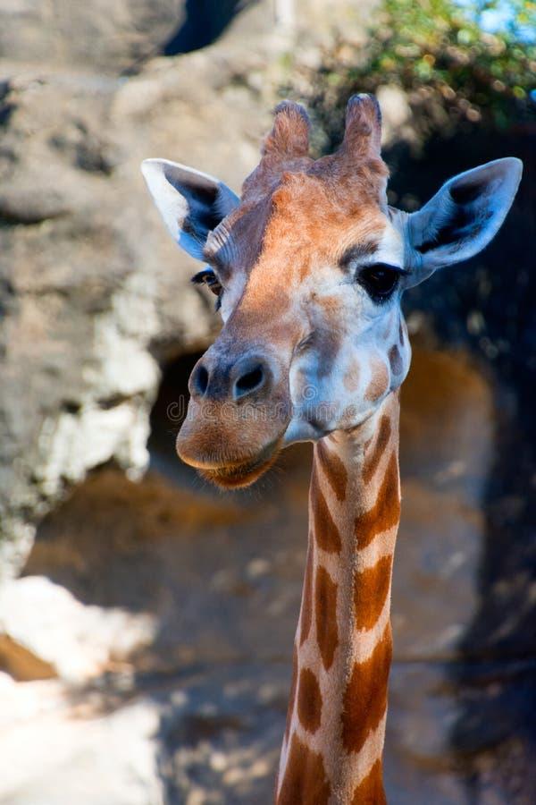 A gentle giraffe stock images