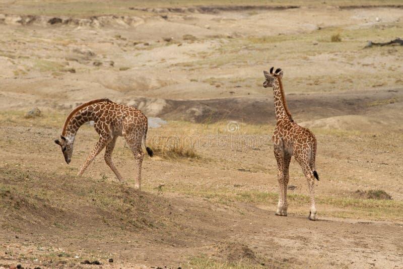Giraffe gemellate del bambino che pascono immagini stock