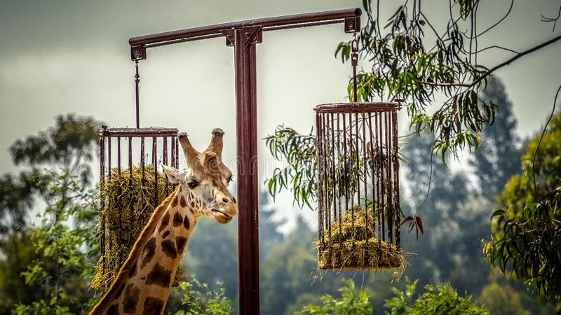 Giraffe in captivity royalty free stock image