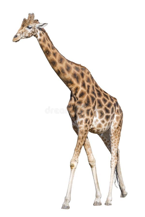 Giraffe getrennt stockbild