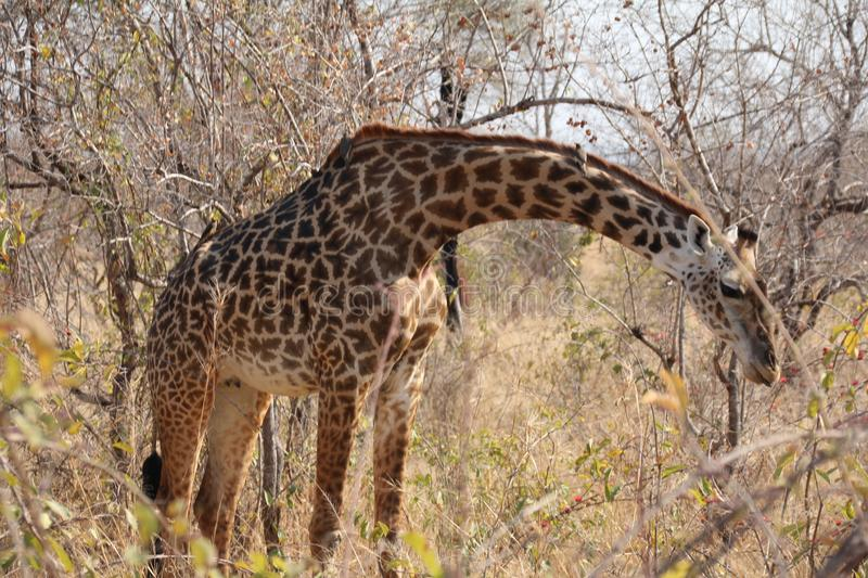 Giraffe at Ruaha national park ,Tanzania east Africa. Giraffe getting difficulties on reaching food in shorts trees stock image