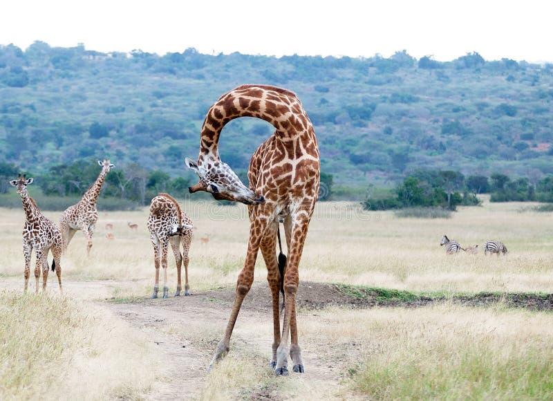 Download Giraffe (Giraffa Camelopardalis) Stock Image - Image: 19360107