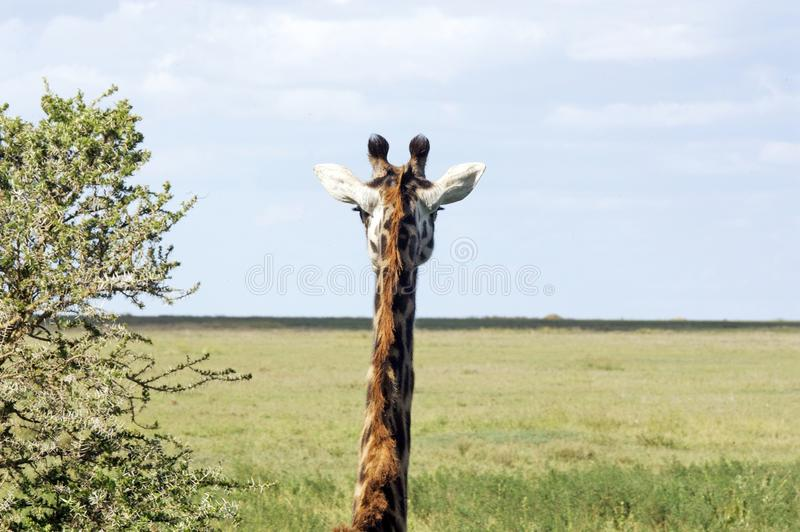 Download Giraffe (Giraffa Camelopardalis) Stock Image - Image: 19692679