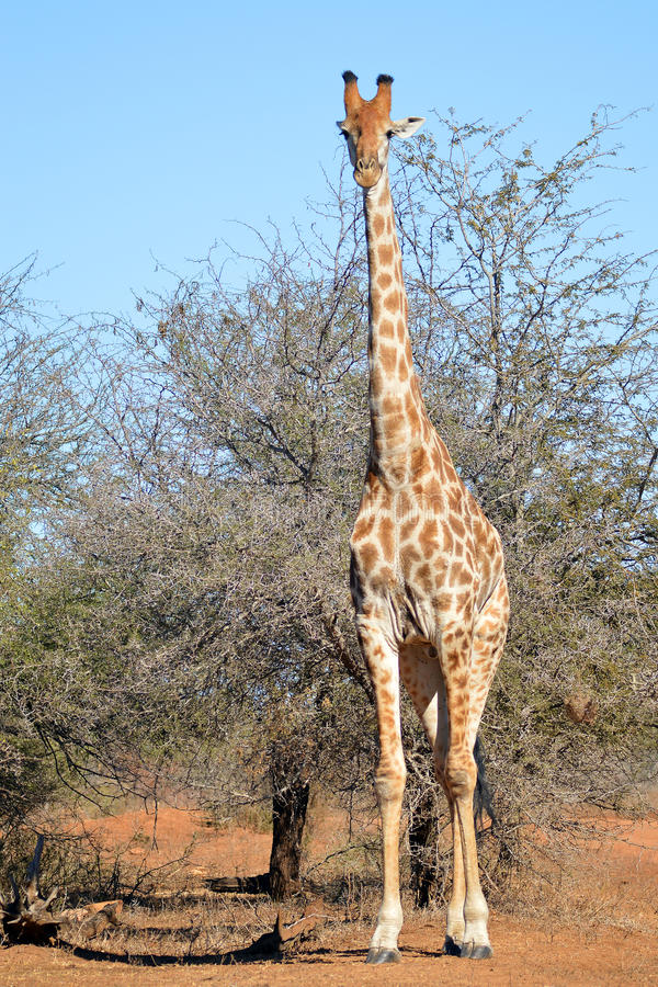 Giraffe (Giraffa camelopardalis) lizenzfreies stockbild