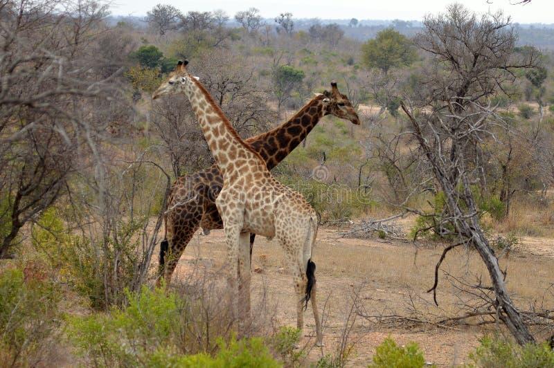 Giraffe (Giraffa camelopardalis) stockbild