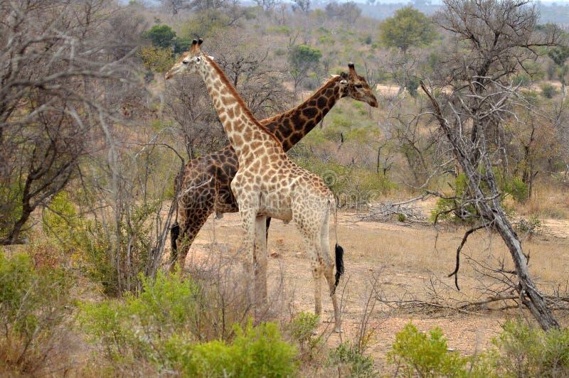 Giraffe (Giraffa camelopardalis) lizenzfreies stockfoto