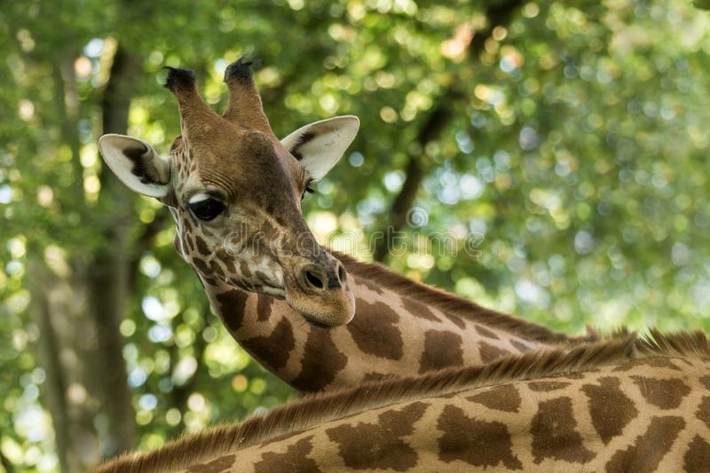 The giraffe Giraffa camelopardalis, African even-toed ungulate mammal, the tallest of all extant land-living animal species stock photos