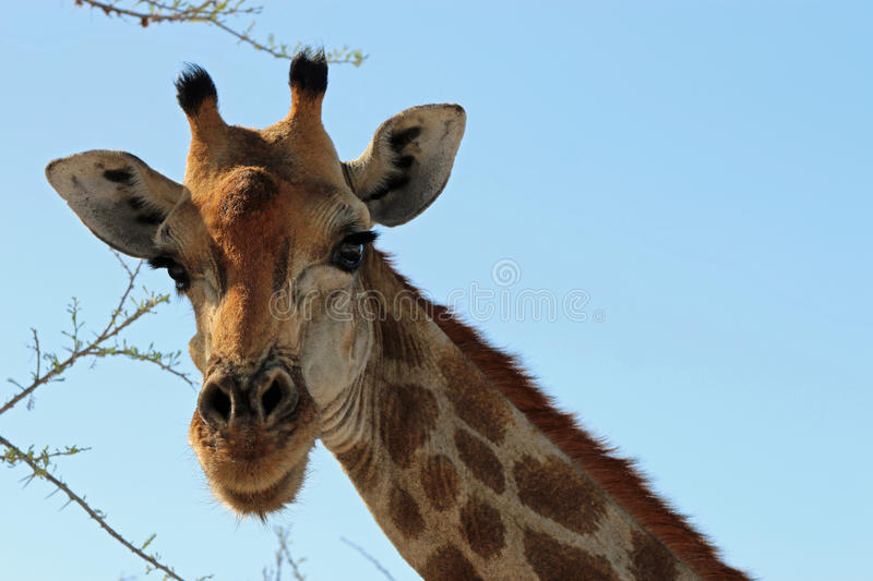Download Giraffe stock image. Image of angolensis, unspoiled, nature - 36197921