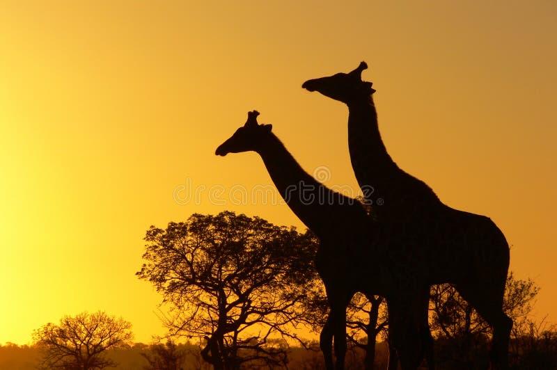 Giraffe (Giraffa camelopardalis) bei Sonnenaufgang stockbilder