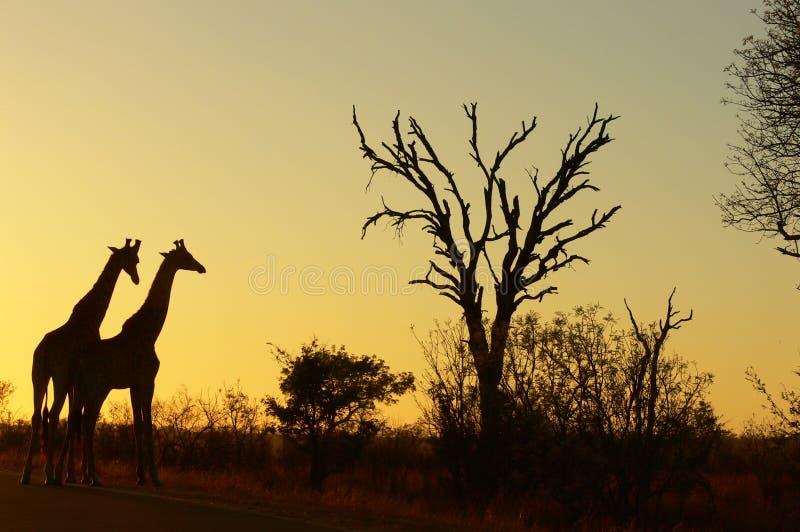 Giraffe (Giraffa camelopardalis) bei Sonnenaufgang lizenzfreies stockbild