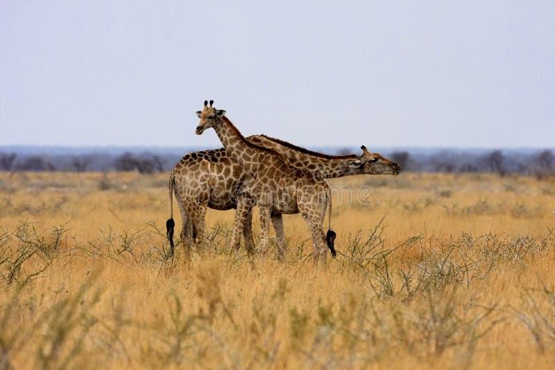 Giraffe, Giraffa camelopardalis, in Etosha National Park, Namibia royalty free stock images