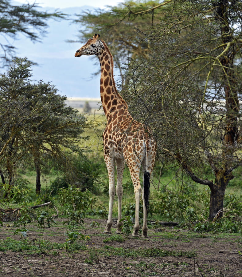 Download Giraffe stock photo. Image of herbivorous, cautious, habitat - 39514312