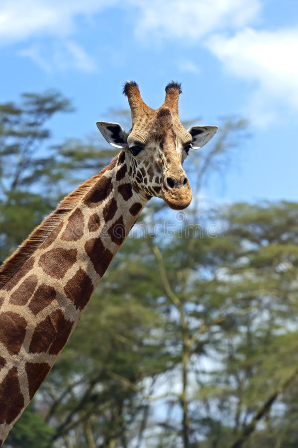 Download Giraffe stock image. Image of animals, vegetation, vyfsoky - 39514023