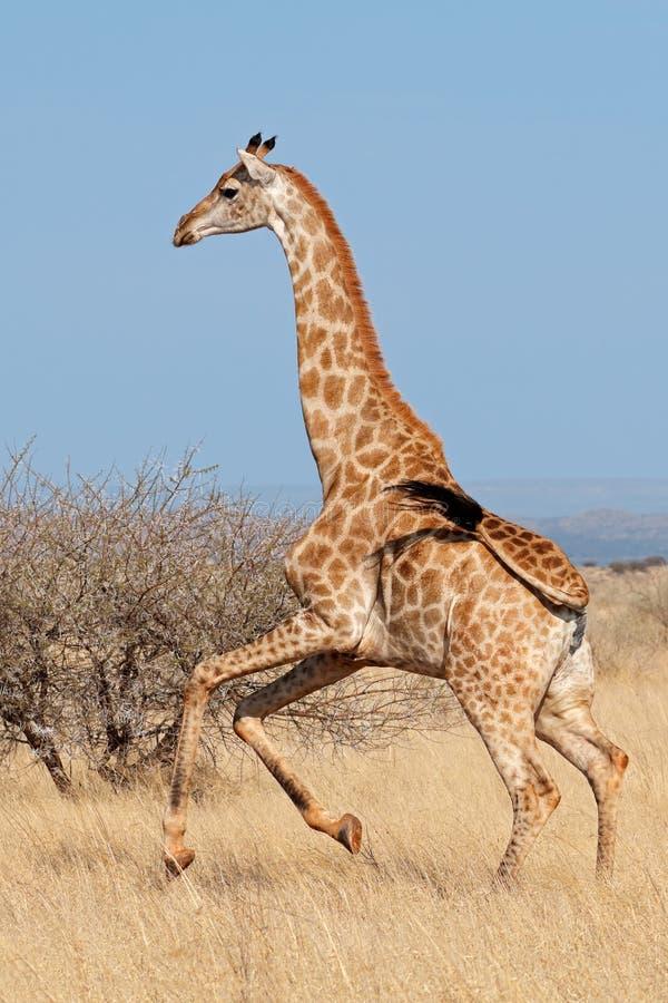 Giraffe running on African plains. Giraffe Giraffa camelopardalis running on the African plains, South Africa stock photo