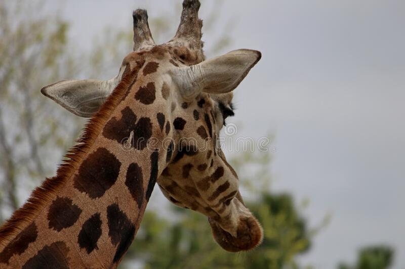 Close-up from behind Giraffe Giraffa camelopardalis. The giraffe Giraffa is a genus of African artiodactyl mammal to which four species belong; it is the tallest royalty free stock images