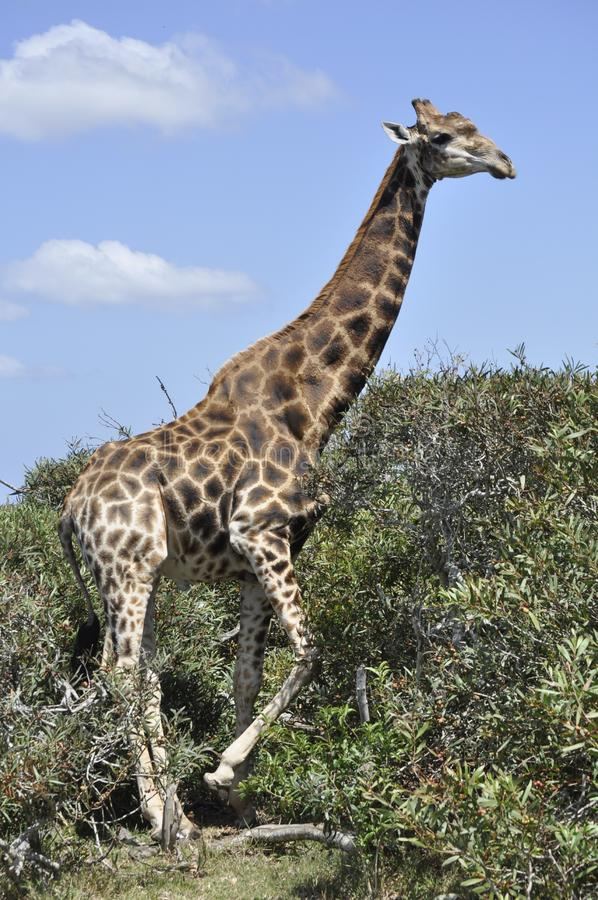 The giraffe -tallest animal. The giraffe Giraffa is a genus of African even-toed ungulate mammals, the tallest living terrestrial animals and the largest royalty free stock image