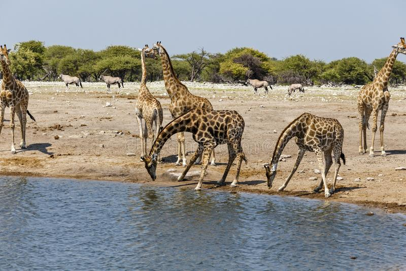 Giraffe Giraffa at the water hole, royalty free stock photography