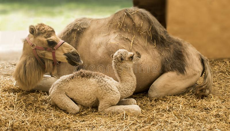 Giraffe Giraffa. Young camel with mother in the stable Camelidae stock photo
