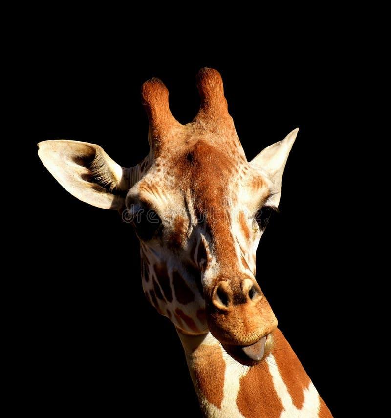 Giraffe, Giraffidae, Säugetier, terrestrisches Tier