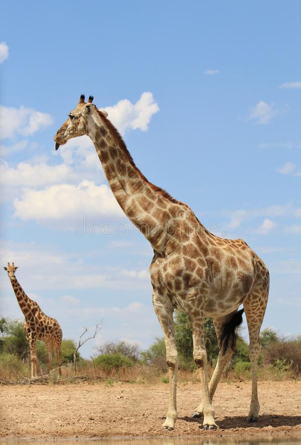 Giraffe - Girls sticking out tongues at Boys stock photo