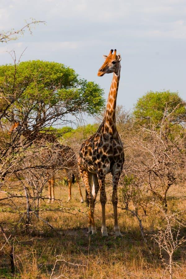 Giraffe grande en Afrique du Sud images libres de droits