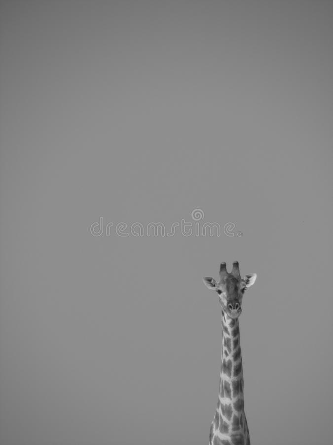 Giraffe On Grayscale Effect Portrait Free Public Domain Cc0 Image